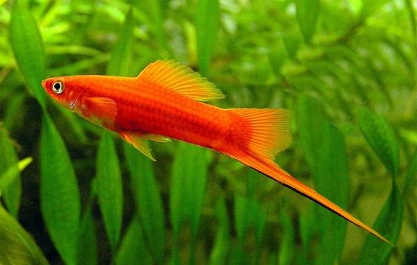 Cá Kiếm – một trong những loại cá không nên cho bé ăn vì nó chứa hàm lượng thủy ngân rất cao.