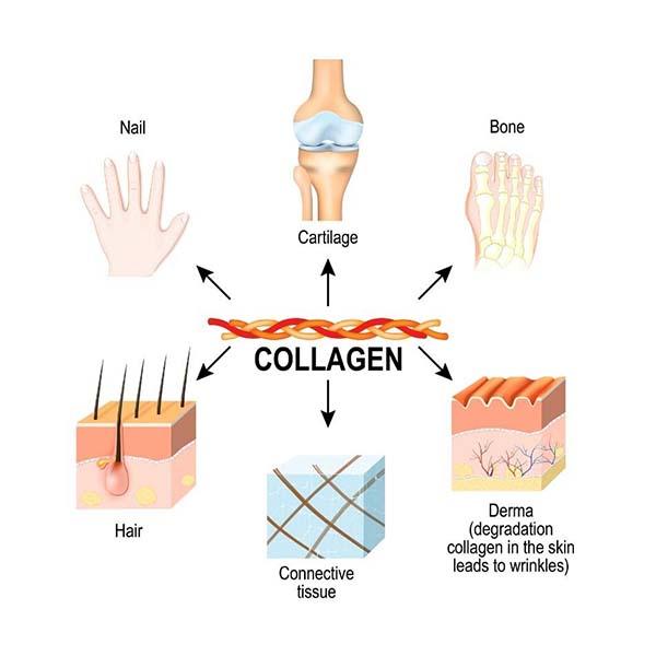 collagen trong cơ thể