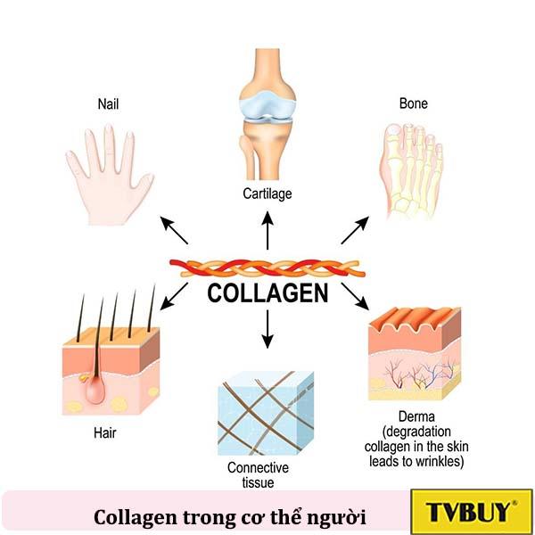 các vị trí collagen trong cơ thể
