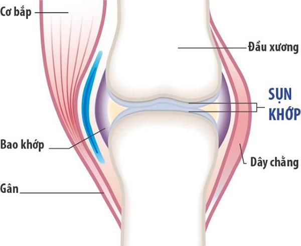 Sụn khớp (sụn tiếp hợp) quyết định tốc độ phát triển chiều dài của xương